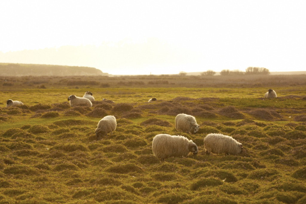 The sheep were, for the most part, well behaved witnesses to the ceremony.