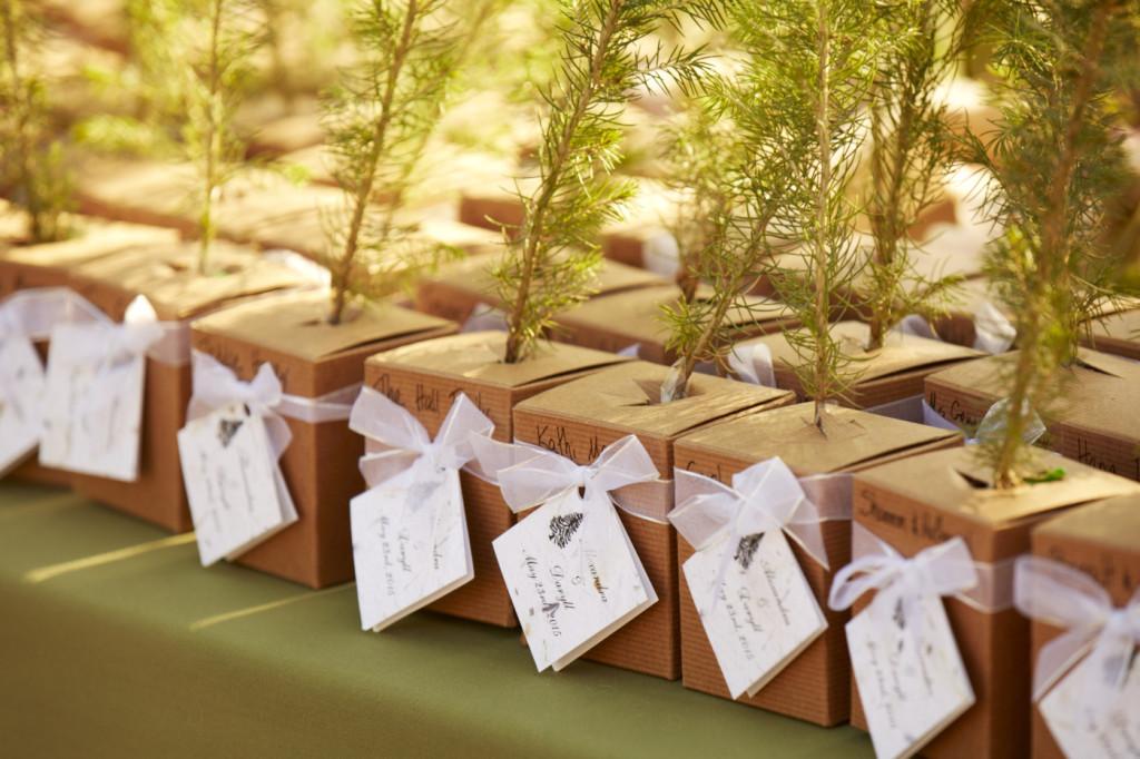 Blue Spruce Saplings